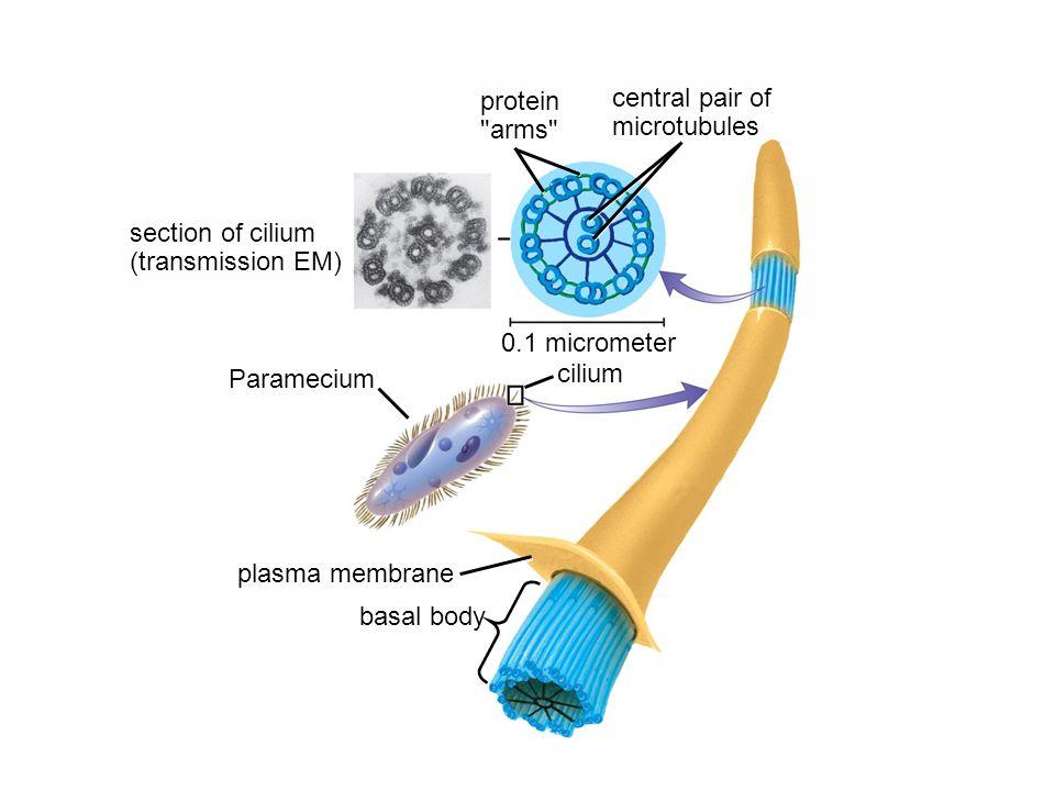 cilium Paramecium 0.1 micrometer protein arms central pair of microtubules section of cilium (transmission EM) basal body plasma membrane