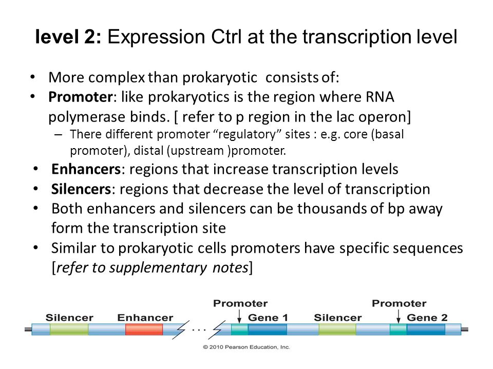 level 2: Expression Ctrl at the transcription level More complex than prokaryotic consists of: Promoter: like prokaryotics is the region where RNA polymerase binds.