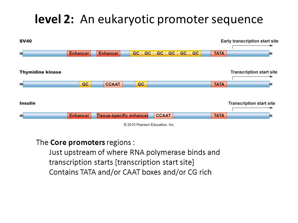 level 2: An eukaryotic promoter sequence The Core promoters regions : Just upstream of where RNA polymerase binds and transcription starts [transcription start site] Contains TATA and/or CAAT boxes and/or CG rich