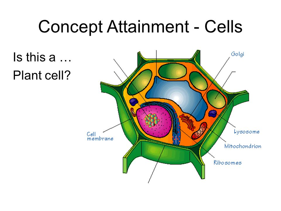 Is this a … Plant cell Concept Attainment - Cells