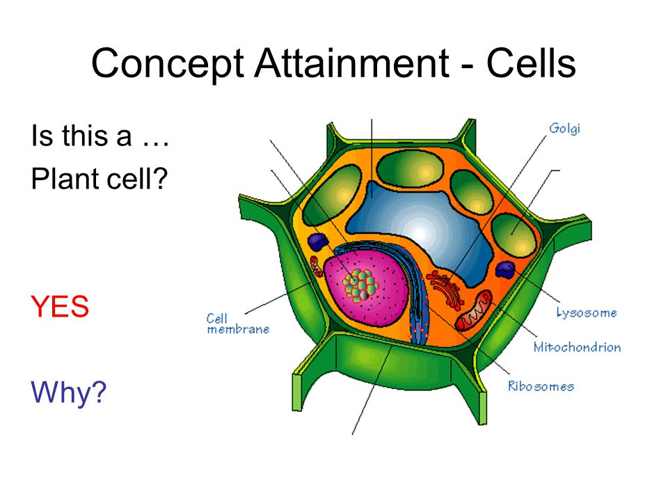 Is this a … Plant cell YES Why Concept Attainment - Cells