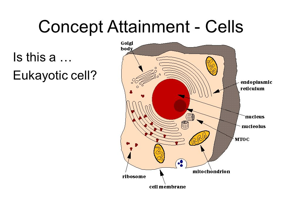 Is this a … Eukayotic cell Concept Attainment - Cells
