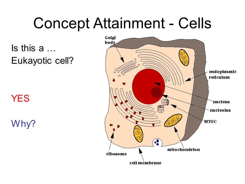 Is this a … Eukayotic cell YES Why Concept Attainment - Cells