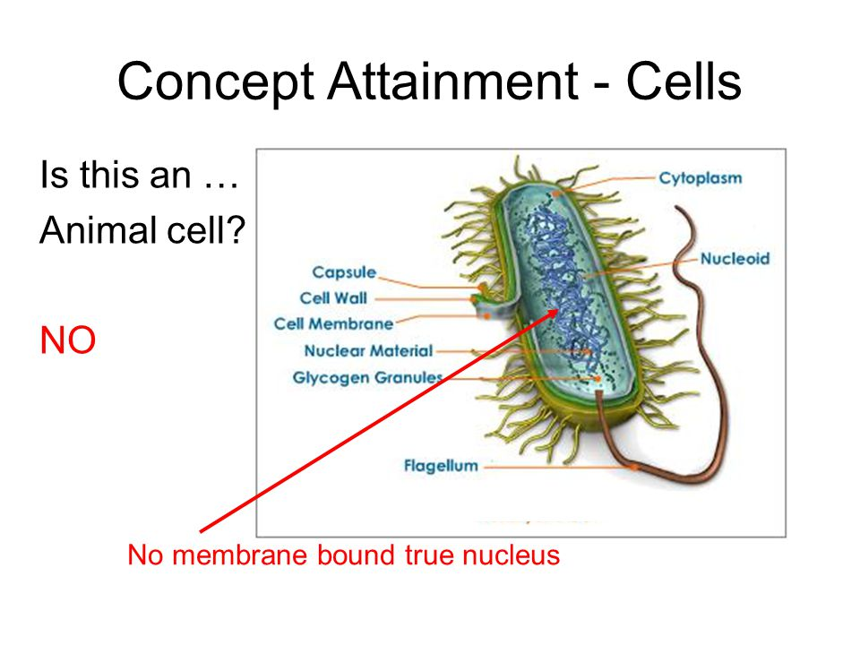 Is this an … Animal cell NO Concept Attainment - Cells No membrane bound true nucleus