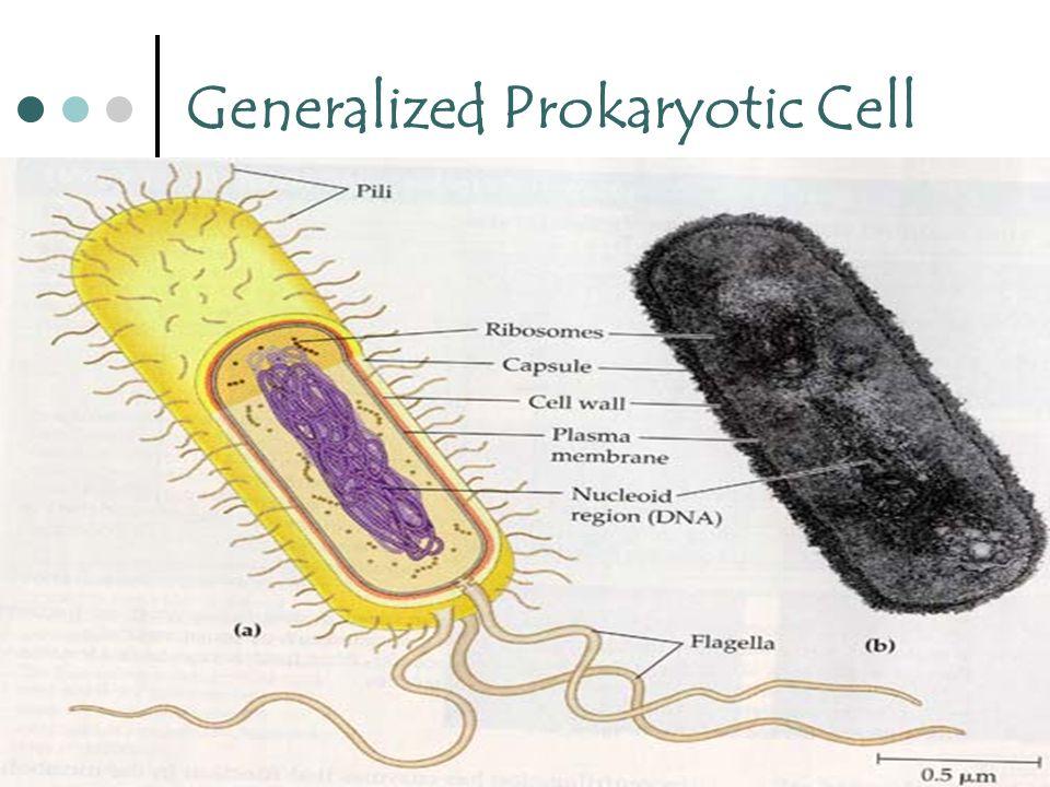 11 Generalized Prokaryotic Cell