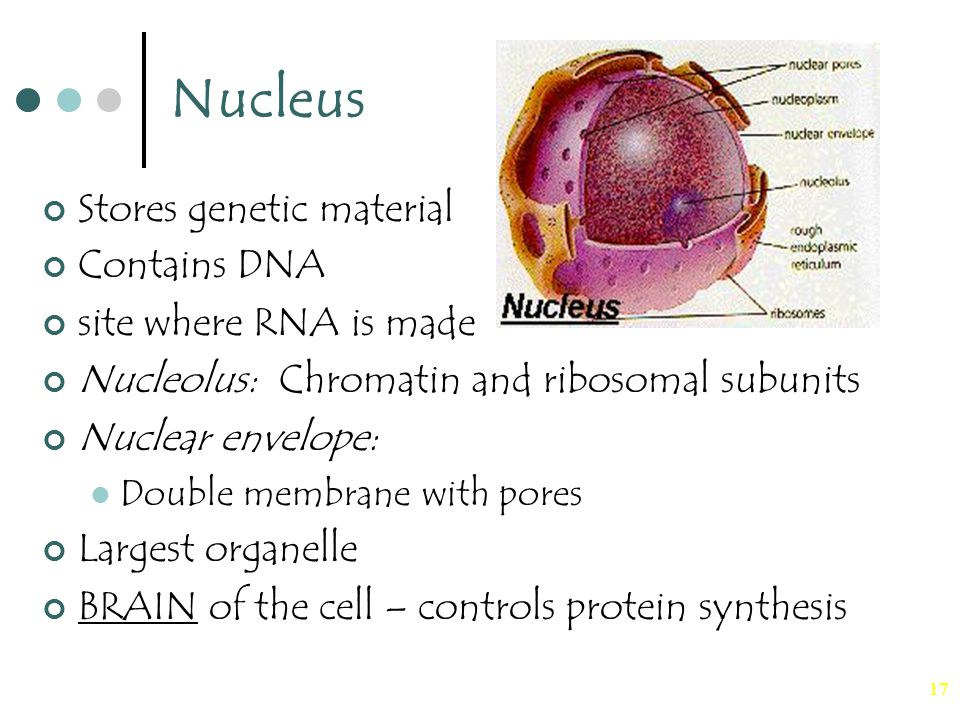 17 Nucleus Stores genetic material Contains DNA site where RNA is made Nucleolus: Chromatin and ribosomal subunits Nuclear envelope: Double membrane w