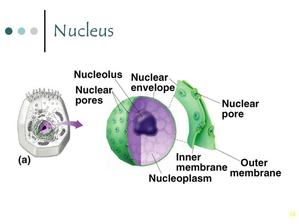 18 Nucleus