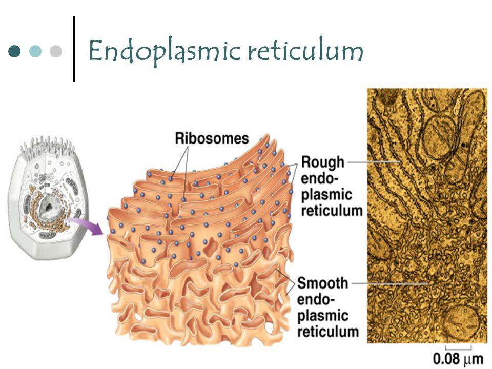 25 Endoplasmic reticulum