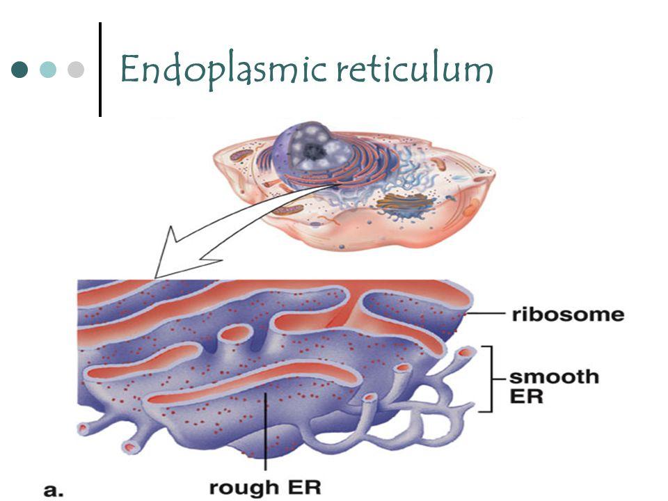 26 Endoplasmic reticulum