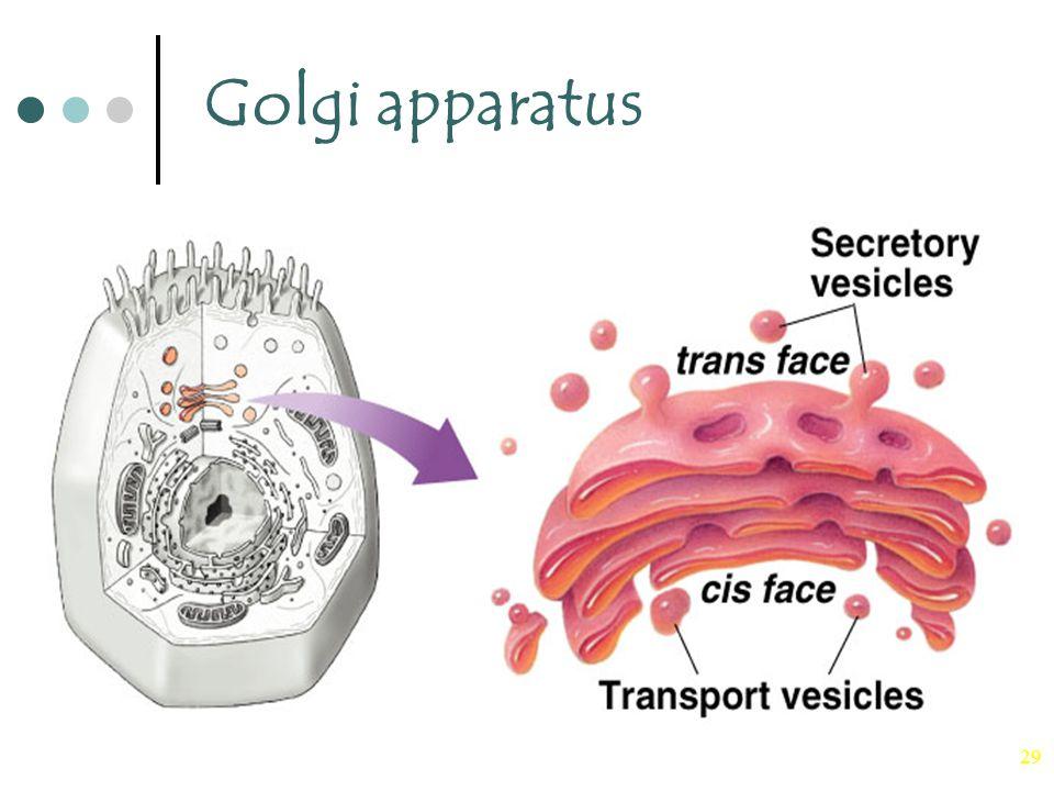 29 Golgi apparatus