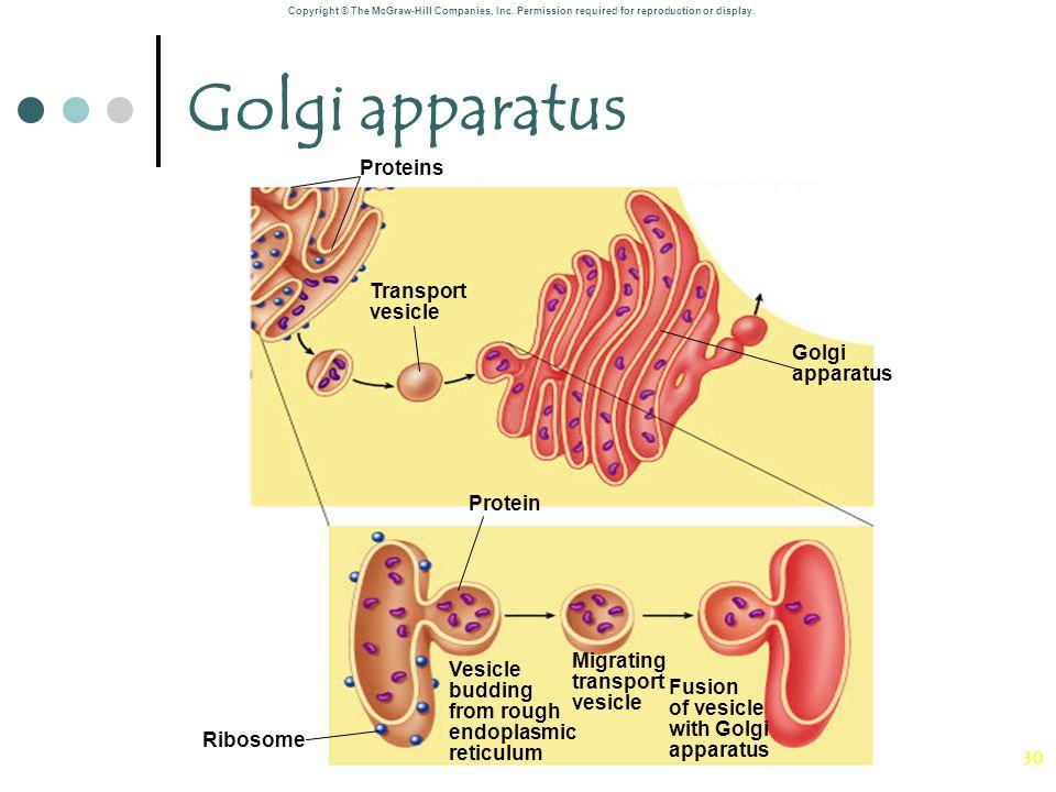 30 Golgi apparatus Vesicle budding from rough endoplasmic reticulum Fusion of vesicle with Golgi apparatus Migrating transport vesicle Protein Protein