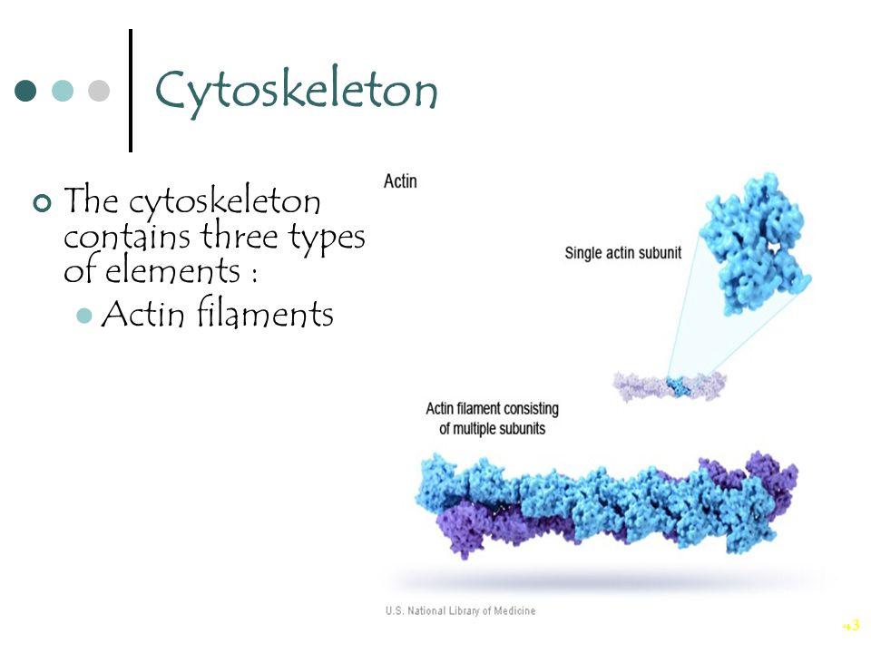 43 Cytoskeleton The cytoskeleton contains three types of elements : Actin filaments