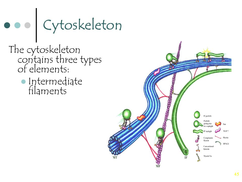 45 Cytoskeleton The cytoskeleton contains three types of elements: Intermediate filaments
