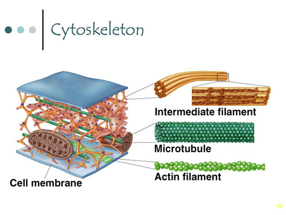 46 Cytoskeleton