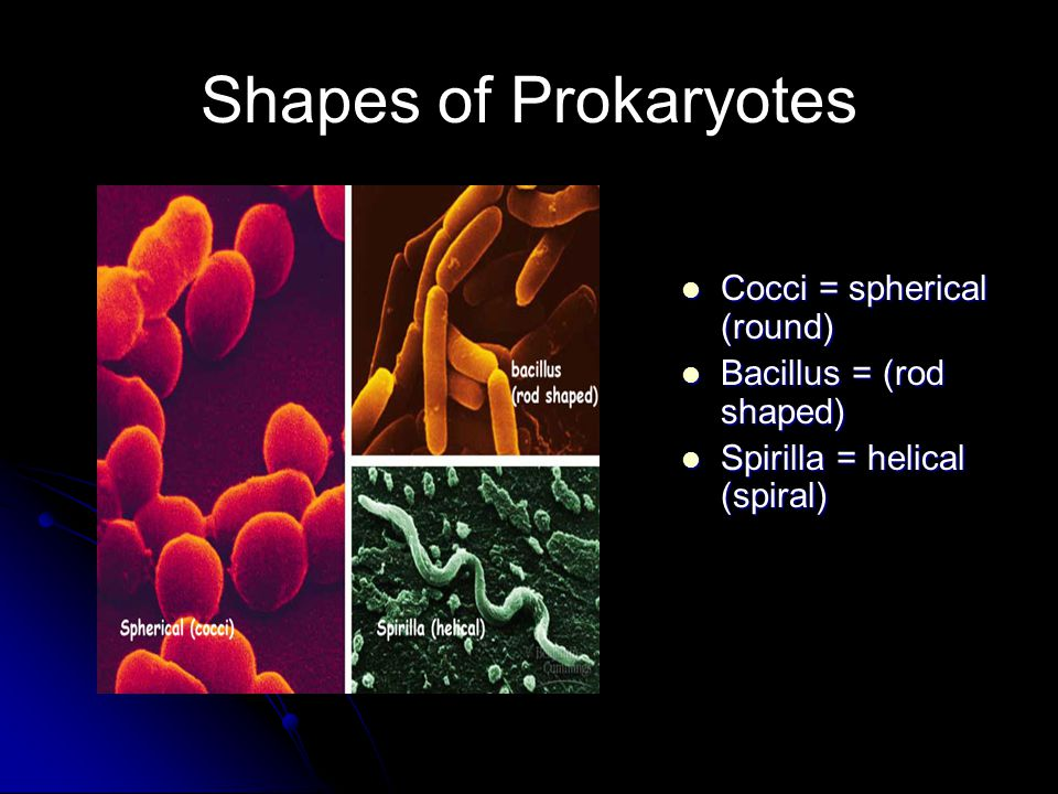 Shapes of Prokaryotes Cocci = spherical (round) Cocci = spherical (round) Bacillus = (rod shaped) Bacillus = (rod shaped) Spirilla = helical (spiral) Spirilla = helical (spiral)
