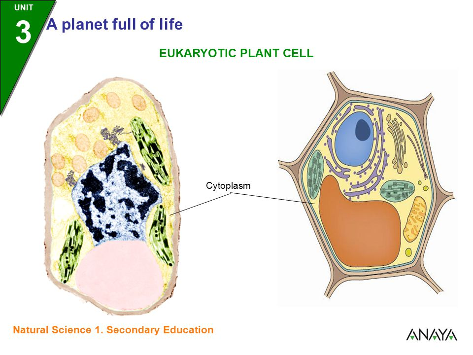 UNIT 3 A planet full of life Natural Science 1. Secondary Education Cytoplasm EUKARYOTIC PLANT CELL