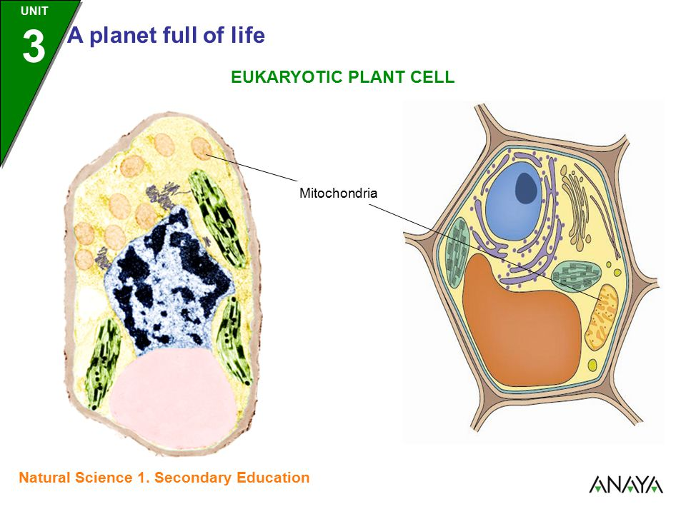 UNIT 3 A planet full of life Natural Science 1. Secondary Education Mitochondria EUKARYOTIC PLANT CELL