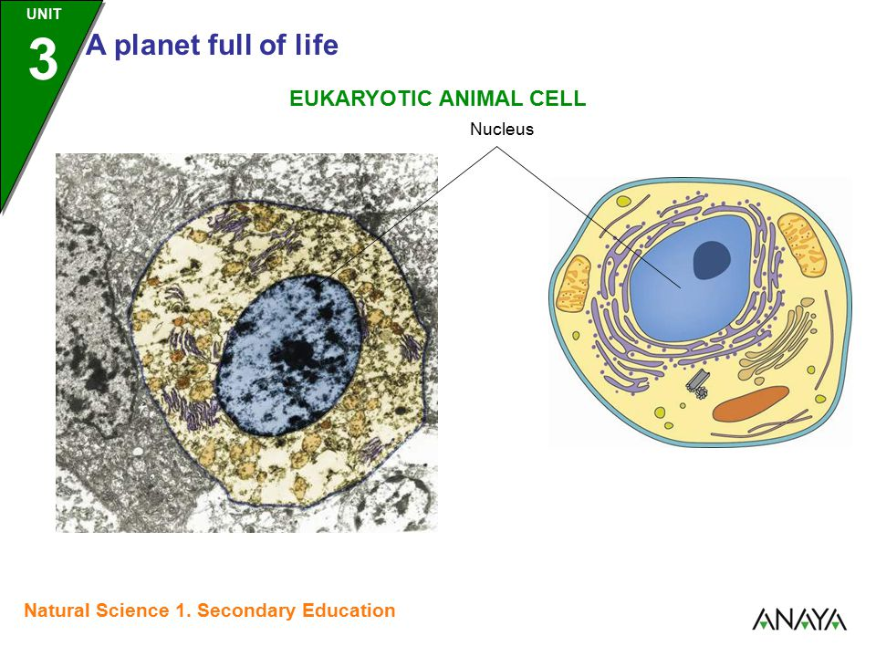 UNIT 3 A planet full of life Natural Science 1. Secondary Education EUKARYOTIC ANIMAL CELL Nucleus