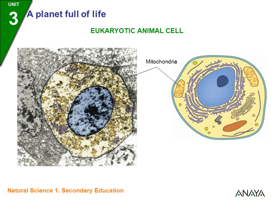 UNIT 3 A planet full of life Natural Science 1. Secondary Education Mitochondria EUKARYOTIC ANIMAL CELL