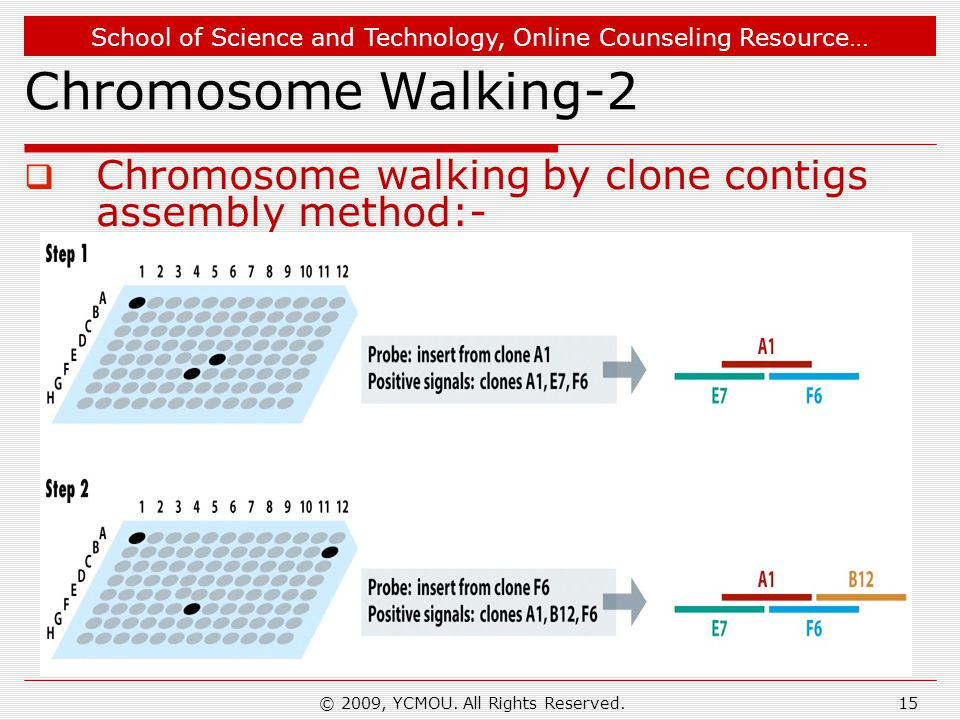 School of Science and Technology, Online Counseling Resource… Chromosome Walking-2  Chromosome walking by clone contigs assembly method:- © 2009, YCM