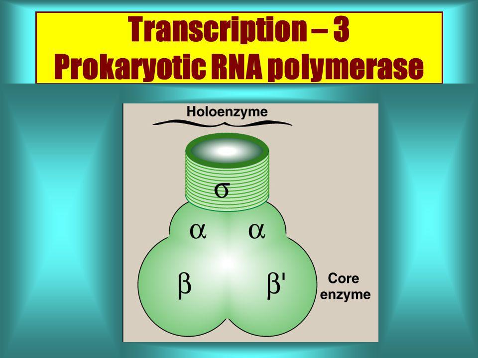 Transcription – 3 Prokaryotic RNA polymerase