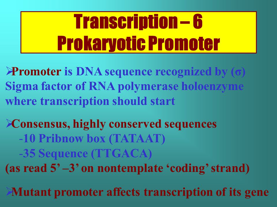 Transcription – 6 Prokaryotic Promoter  Promoter is DNA sequence recognized by (σ) Sigma factor of RNA polymerase holoenzyme where transcription should start  Consensus, highly conserved sequences -10 Pribnow box (TATAAT) -35 Sequence (TTGACA) (as read 5' –3' on nontemplate 'coding' strand)  Mutant promoter affects transcription of its gene