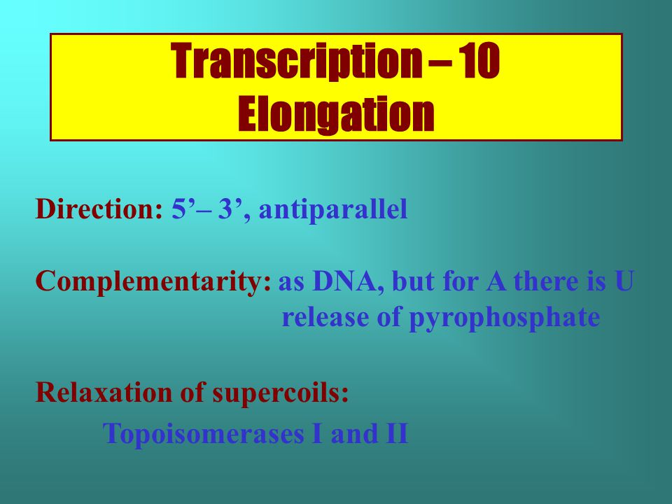 Transcription – 10 Elongation Direction: 5'– 3', antiparallel Complementarity: as DNA, but for A there is U release of pyrophosphate Relaxation of supercoils: Topoisomerases I and II
