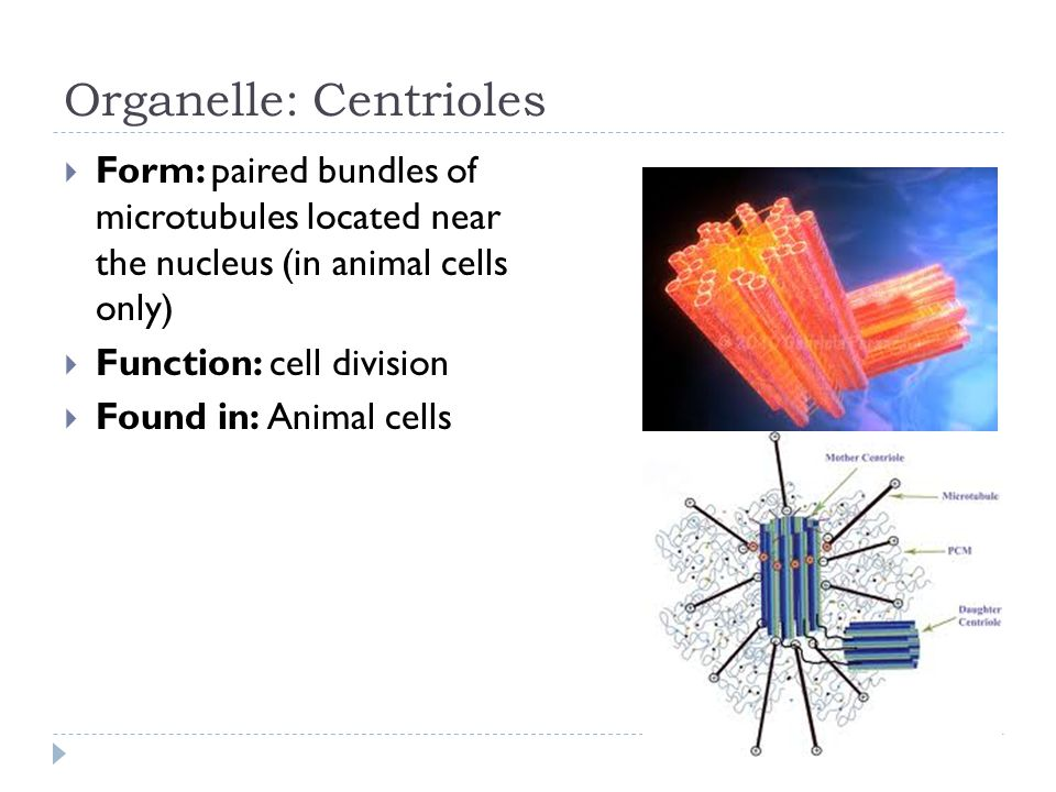 Organelle: Centrioles  Form: paired bundles of microtubules located near the nucleus (in animal cells only)  Function: cell division  Found in: Animal cells