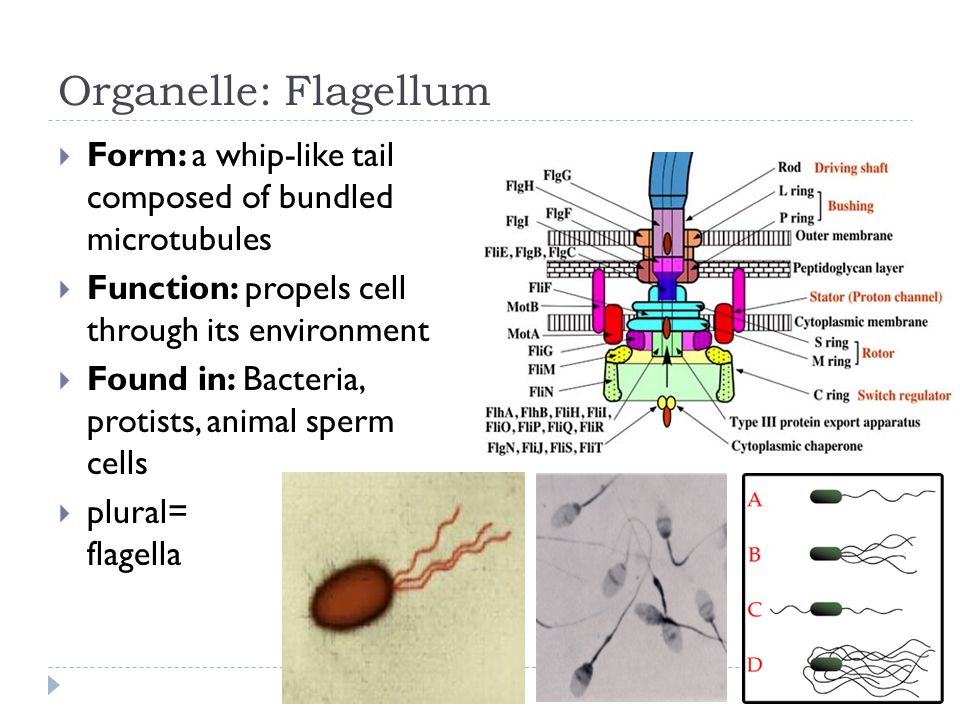 Organelle: Flagellum  Form: a whip-like tail composed of bundled microtubules  Function: propels cell through its environment  Found in: Bacteria, protists, animal sperm cells  plural= flagella