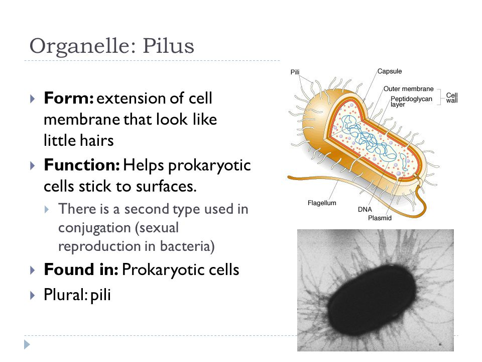 Organelle: Pilus  Form: extension of cell membrane that look like little hairs  Function: Helps prokaryotic cells stick to surfaces.