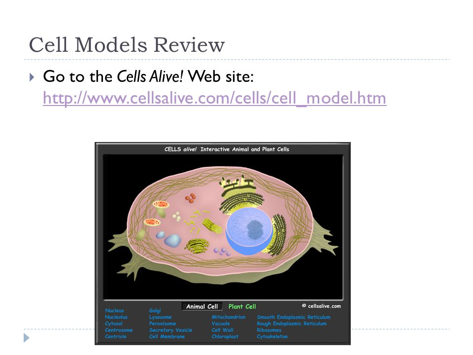 Cell Models Review  Go to the Cells Alive.
