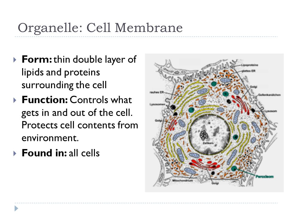 Organelle: Cell WALL  Form: rigid covering surrounding cell membrane  made of cellulose in plants, and algae (protists)  made of chitin in fungi  made of peptidoglycan in bacteria  Function: Protection Gives shape  Found in: Plants, Bacteria, Fungi, Some Protists