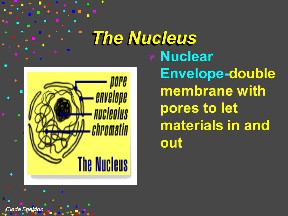 Cinda Sheldon NUCLEUS  Houses the genetic material: DNA  Control center