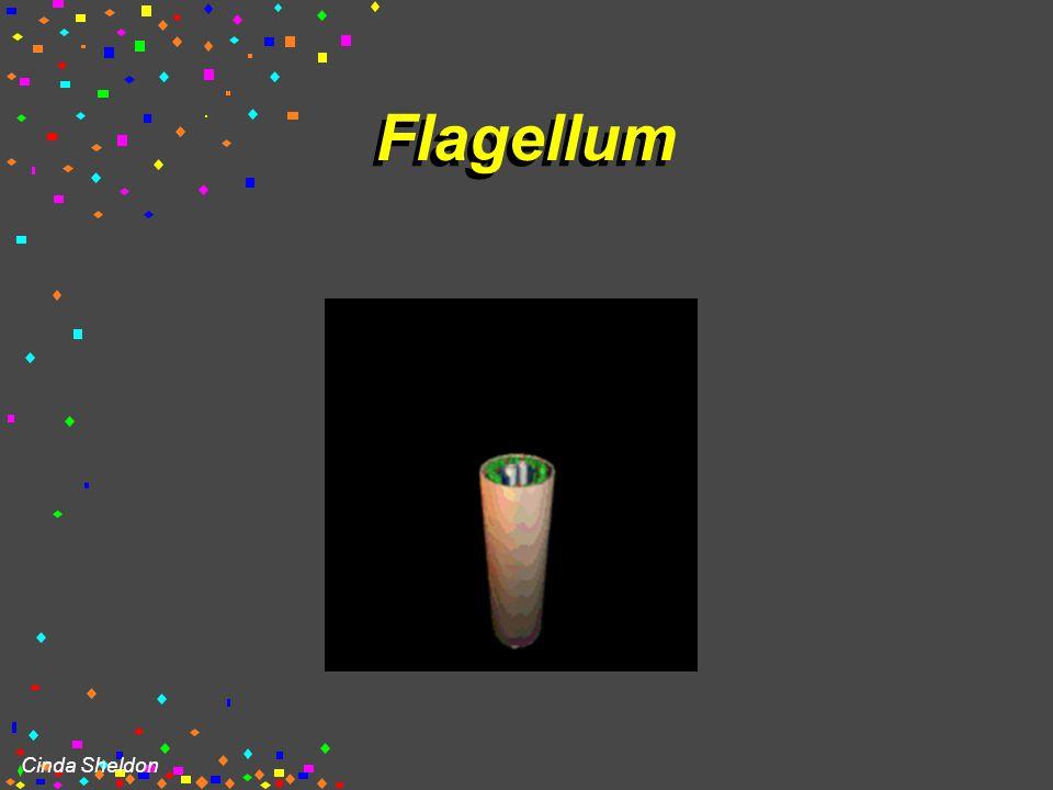 Cinda Sheldon Flagella  Longer Projections  Propel through water