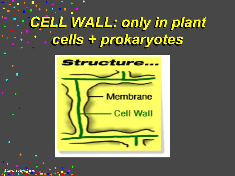 Cinda Sheldon Cell Wall  Protects cell  helps it maintain its shape  Outside the cell membrane