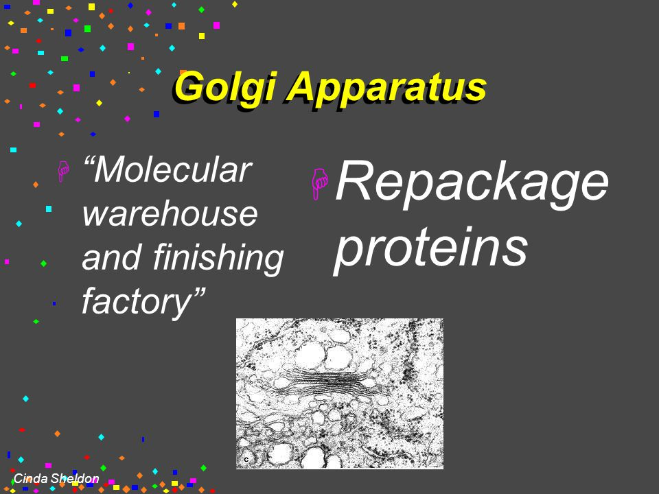 GOLGI COMPLEX (Golgi apparatus, Golgi Bodies)  Sacs are not interconnected  Looks like flattened stacks of pita bread