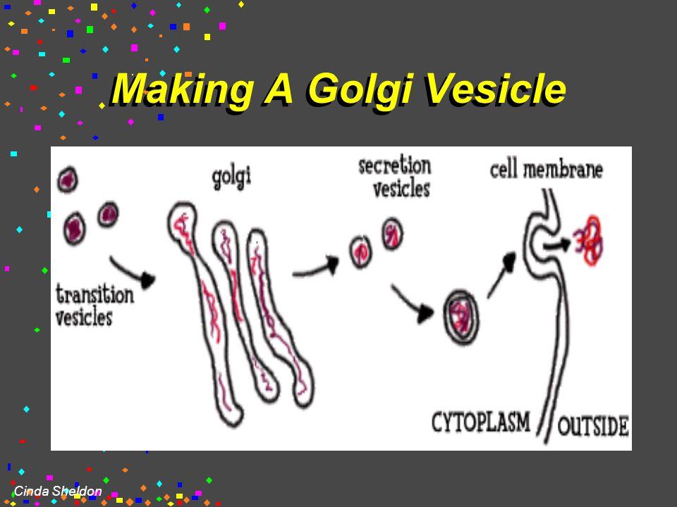 Cinda Sheldon Golgi apparatus Also known as Golgi body Golgi complex