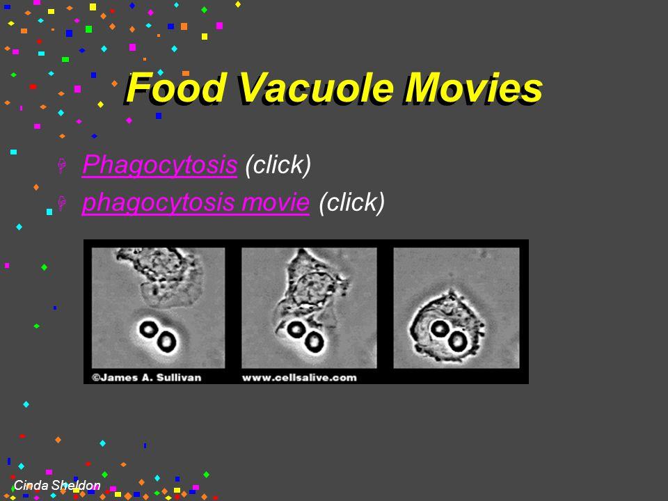 Cinda Sheldon Food Vacuole (b) in Amoeba