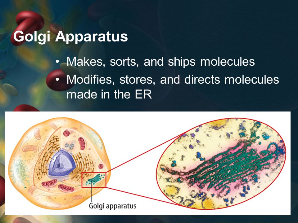 Vesicles Small, ball-like organelles Transport molecules through cytoplasm Transport molecules to cell membrane for release