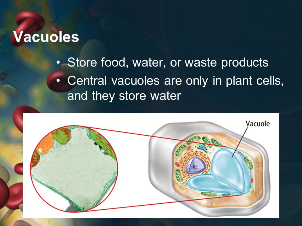 Vacuoles Store food, water, or waste products Central vacuoles are only in plant cells, and they store water