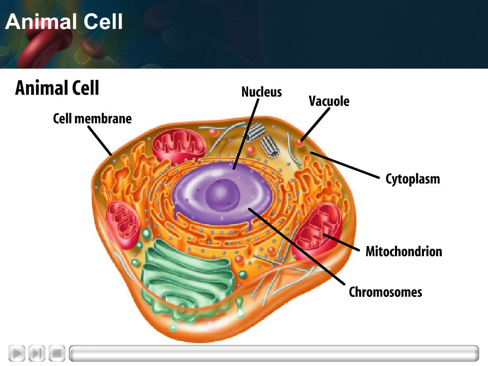 Prokaryotic Cells Lack a nucleus and membrane-bound organelles Single-celled organisms known as bacteria No nucleus – just a loop of DNA
