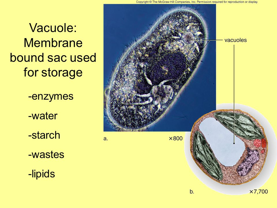 Vacuole: Membrane bound sac used for storage -enzymes -water -starch -wastes -lipids