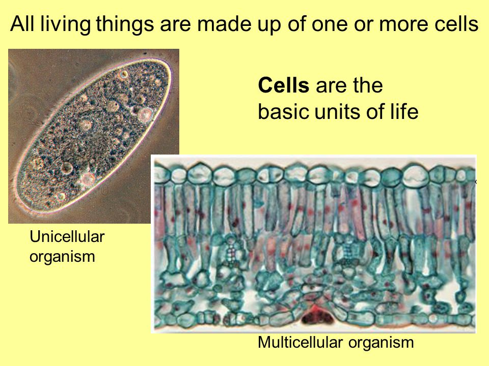 All living things are made up of one or more cells Cells are the basic units of life Unicellular organism Multicellular organism