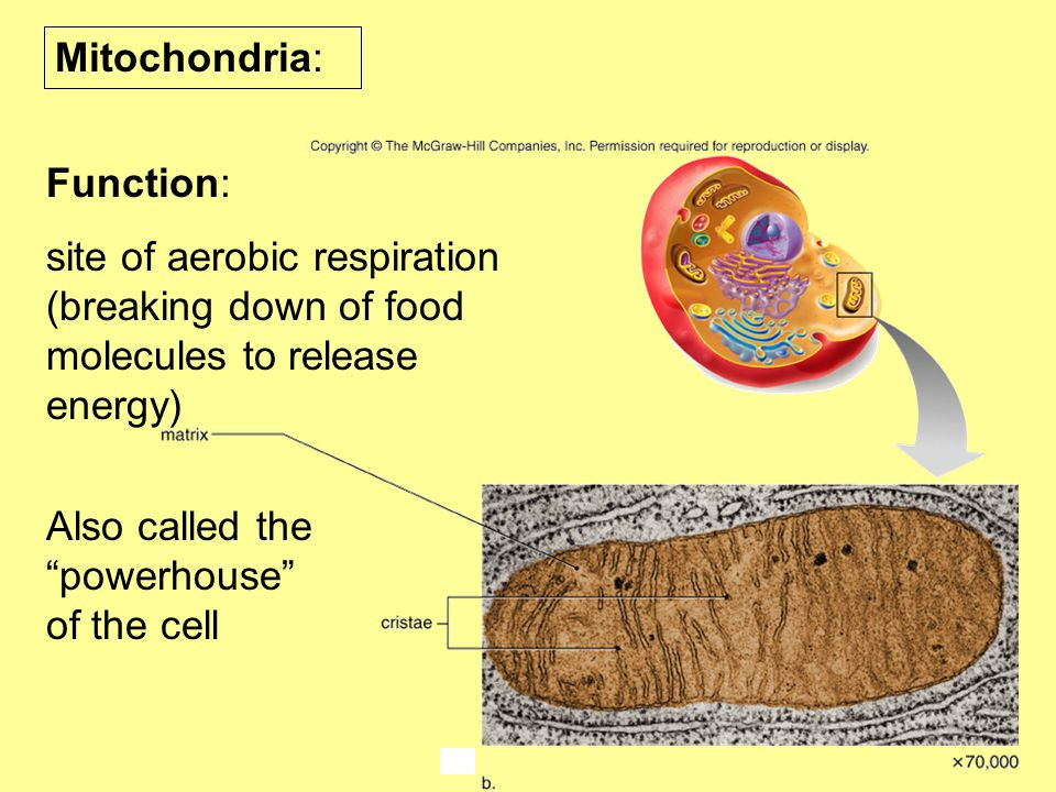 "Mitochondria: Function: site of aerobic respiration (breaking down of food molecules to release energy) Also called the ""powerhouse"" of the cell"