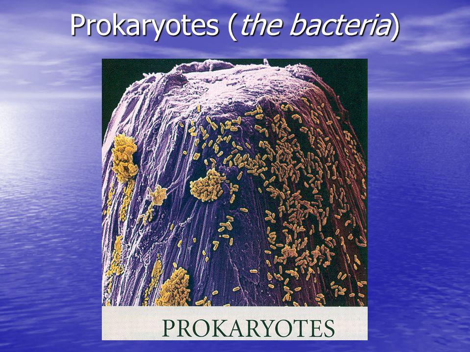 Prokaryotes (the bacteria)