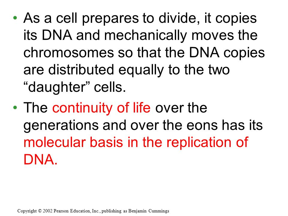 """As a cell prepares to divide, it copies its DNA and mechanically moves the chromosomes so that the DNA copies are distributed equally to the two """"daug"""