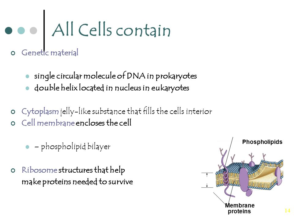 14 All Cells contain Genetic material single circular molecule of DNA in prokaryotes double helix located in nucleus in eukaryotes Cytoplasm jelly-like substance that fills the cells interior Cell membrane encloses the cell – phospholipid bilayer Ribosome structures that help make proteins needed to survive Phospholipids Membrane proteins