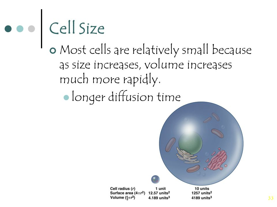 33 Cell Size Most cells are relatively small because as size increases, volume increases much more rapidly.