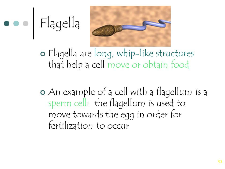 53 Flagella Flagella are long, whip-like structures that help a cell move or obtain food An example of a cell with a flagellum is a sperm cell: the fl