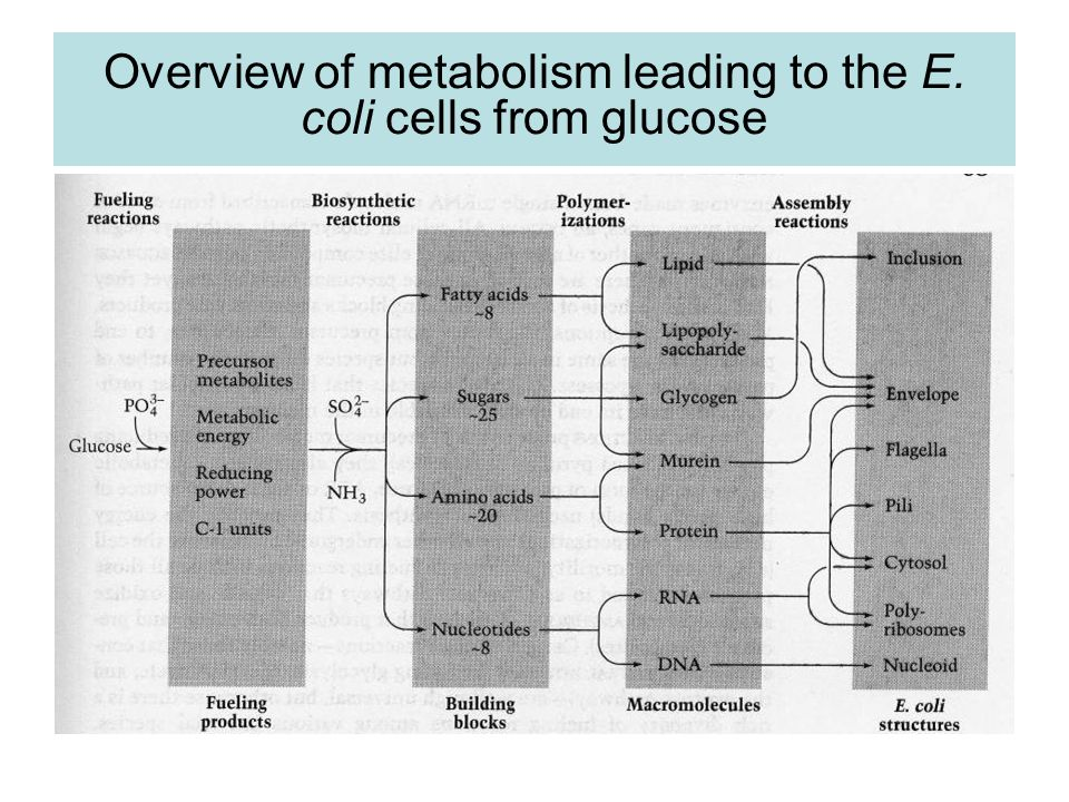 Overview of metabolism leading to the E. coli cells from glucose